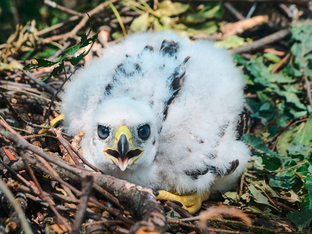 Northern goshawk chick